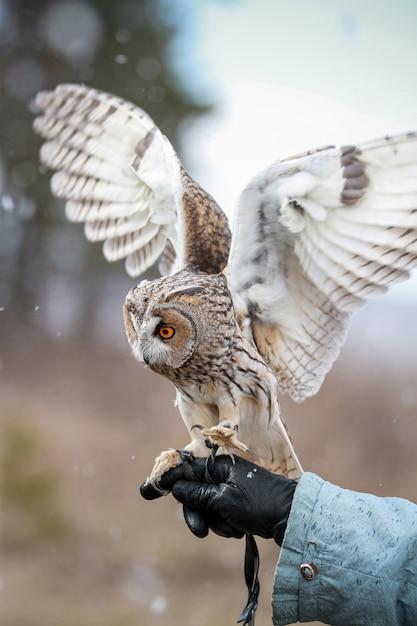 Waldohreule übertragen auf dem gebiet, um zu fliegen und zu jagen Premium Fotos