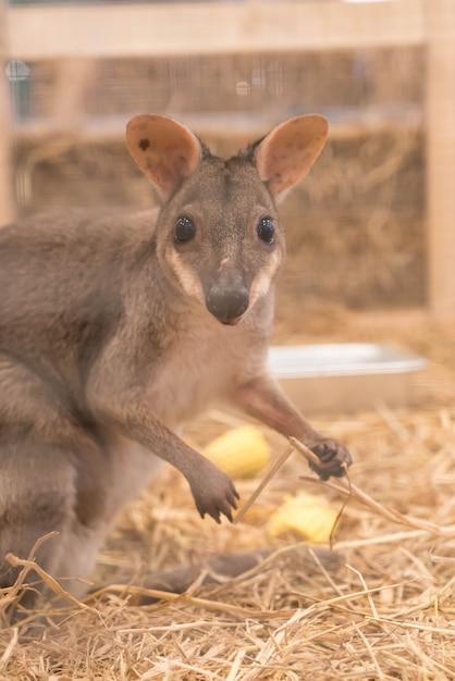Wallaby oder mini känguru Kostenlose Fotos