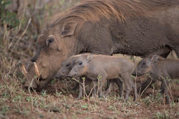 Warzenschwein sucht zusammen mit ihren ferkeln nach nahrung Kostenlose Fotos