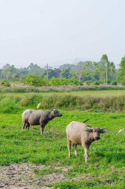 Wasserbüffel, der auf grünem gras steht und zu einer kamera schaut Premium Fotos