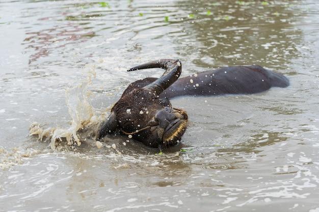 Wasserbüffel, der das wasser spritzt im teich spielt Premium Fotos