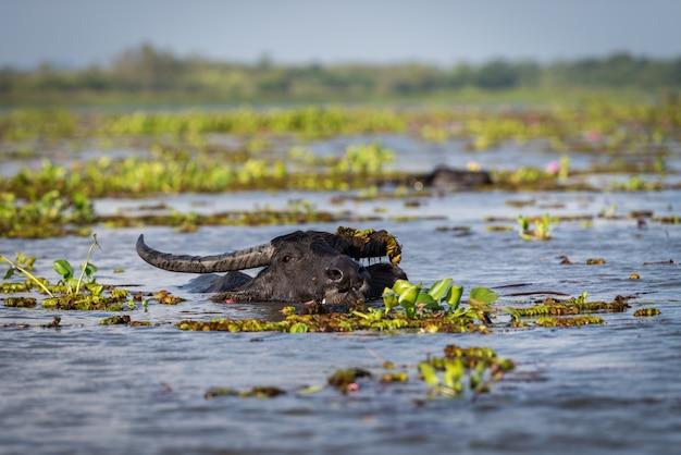 Wasserbüffel im see Premium Fotos