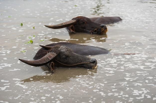 Wasserbüffel spielt und schwimmt im teich Premium Fotos