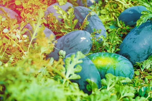 Wassermelonenfeld Premium Fotos