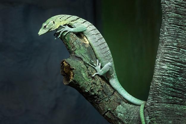 Wassermonitorgrün (varanus salvator) auf einem baum in der natürlichen atmosphäre des zoos. Premium Fotos