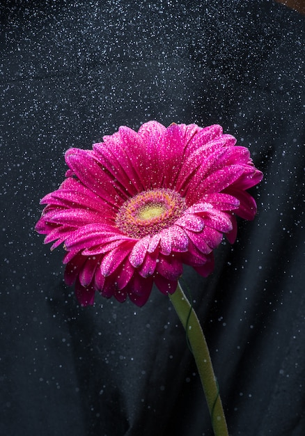 Wasserspray über roter gerberablume, schwarzer hintergrund Premium Fotos