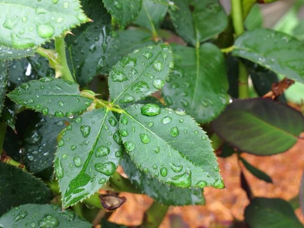Wassertröpfchen auf grünem blatt nach regen Premium Fotos