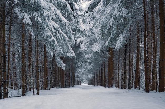 Weg in einem verschneiten wald nach einem schneefall mit herzförmigen kronen Premium Fotos