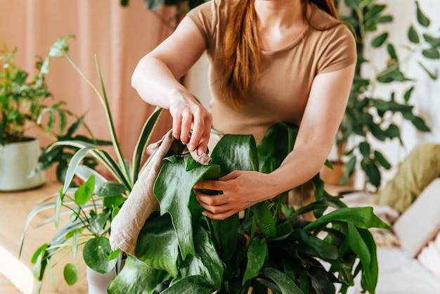 Weibliche hände waschen die blätter von zimmerpflanzen zu hause Premium Fotos