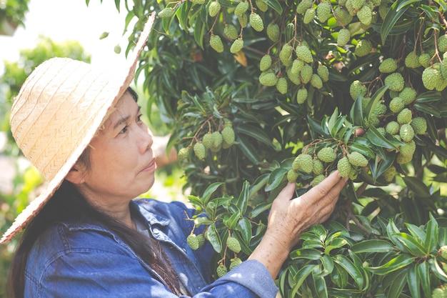 Weibliche landwirte überprüfen litschi im garten. Kostenlose Fotos