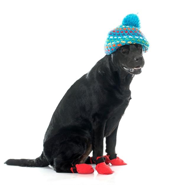 Weibliche schwarze labrador retriever und socken Premium Fotos