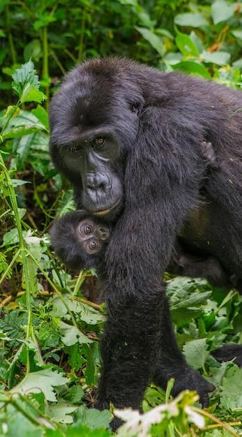 Weiblicher berggorilla mit einem baby. uganda. bwindi impenetrable forest national park. Premium Fotos