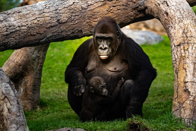 Weiblicher westgorilla, der um einem baby gorilla gorilla gorilla sich kümmert. Premium Fotos