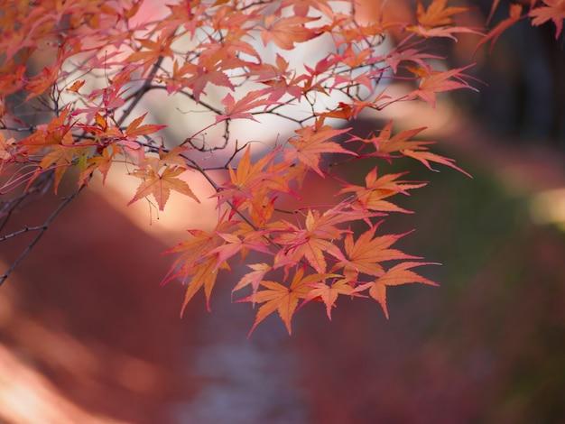 Weichzeichnung von rotahornblättern auf rot der unschärfe verlässt im herbsthintergrund Premium Fotos
