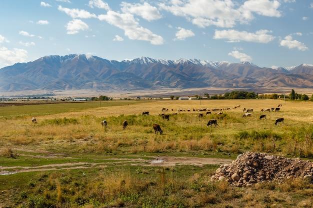 Weide in der bergwiese in den bergen, kühe und schafe grasen auf einer grünen wiese Premium Fotos