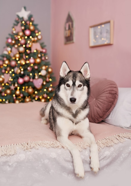 Weihnachten husky hund. hotelkonzept für tiere. welpe neujahr Premium Fotos