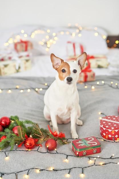 Weihnachtshund jack russell auf dem bett im dekor des neuen jahres Premium Fotos