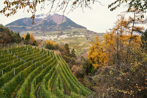 Weinberg, herbstwald und berge in trento Premium Fotos