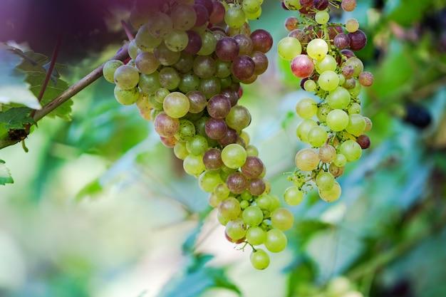 Weinberg mit weißen weintrauben in der landschaft, hängen sonnige weintrauben an der rebe Premium Fotos