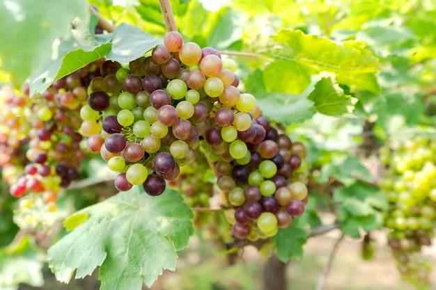 Weinberg mit weißweintrauben in der landschaft, sonnige weintrauben hängen an der rebe Premium Fotos