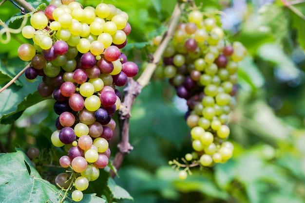 Weinberg mit weißweintrauben in der landschaft Premium Fotos