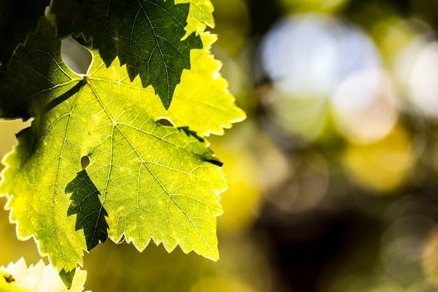 Weinblätter im weinberg Premium Fotos