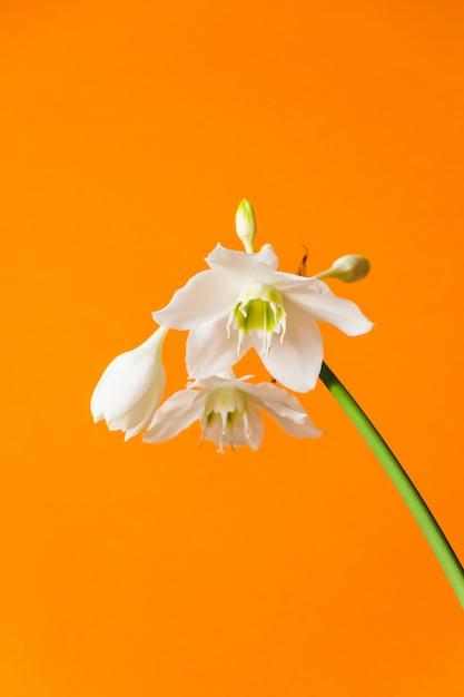 Weiße blüten von eucharis amazonica auf orange Premium Fotos
