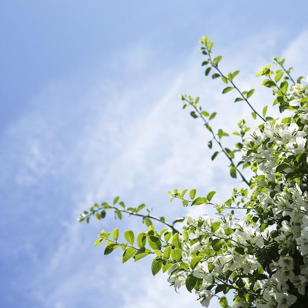Weiße bougainvillea-blumen mit blauem himmel copyspace Kostenlose Fotos