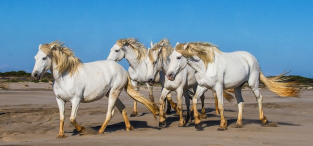 Weiße camargue-pferde galoppieren im sand Premium Fotos