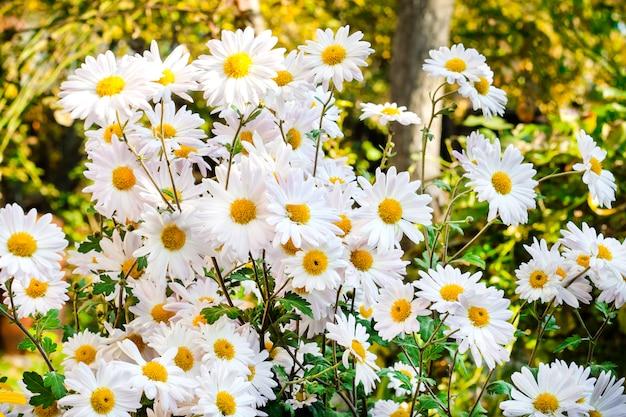 Weiße kamille chrysantheme blumen nahaufnahme sonnigen herbsttag Premium Fotos