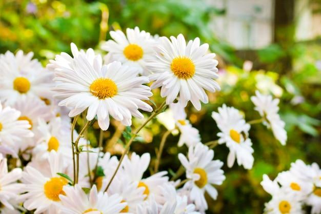 Weiße kamillen-chrysantheme blüht nahaufnahme Premium Fotos