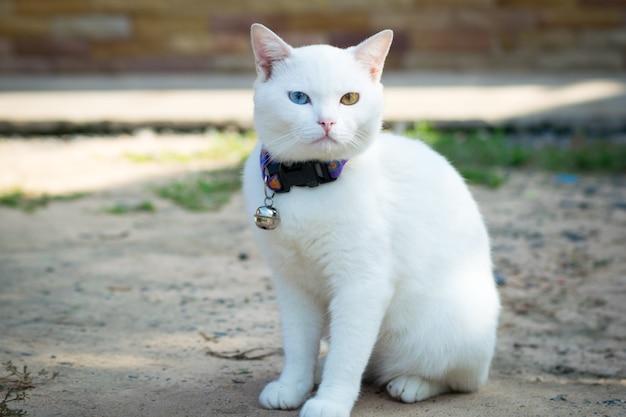 Weiße katze kaowmanee stehend Premium Fotos