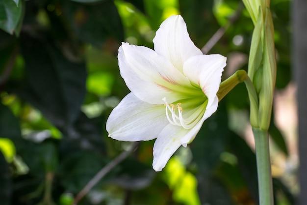 Weiße lilly blume auf natürlichem grünem hintergrund, madonna lilly blume, stargazer lilly Premium Fotos
