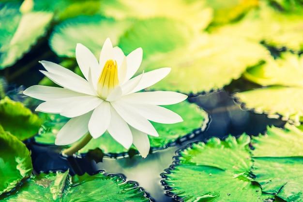 Weiße Lotusblume | Download der kostenlosen Fotos