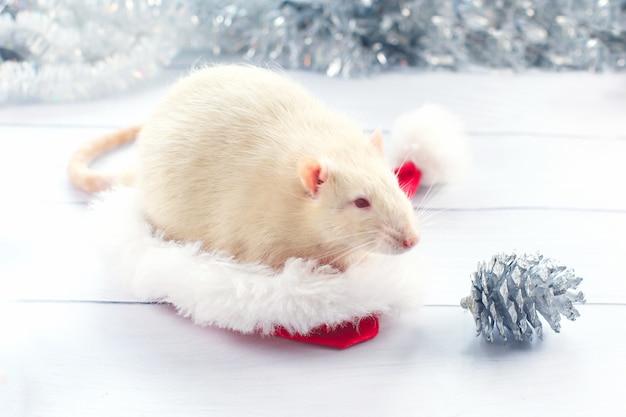 Weiße ratte schaut aus einer weihnachtsmütze, Premium Fotos