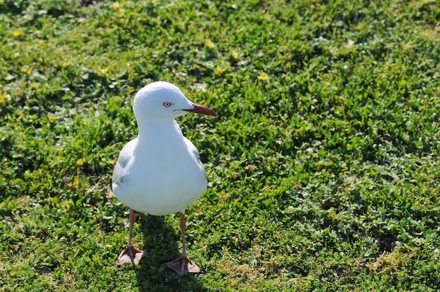Weiße seemöwe im park in sydney australia Premium Fotos