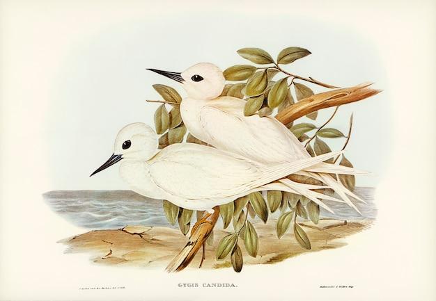 Weiße seeschwalbe (gygis candida) illustriert von elizabeth gould Kostenlose Fotos