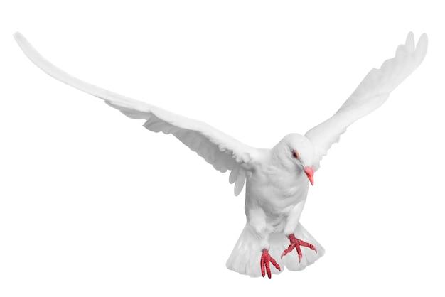 Weiße taube fliegt lokal über weißem hintergrund Premium Fotos