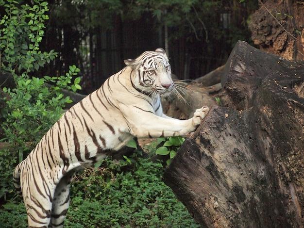 Weiße tigeraktion Premium Fotos