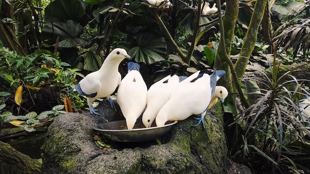 Weiße und blaue wildtauben fressen aus der schüssel gegen dichte tropische regenwälder. fütterung der taube Premium Fotos
