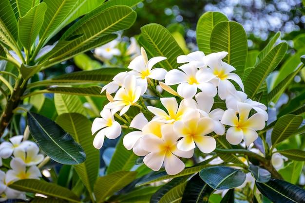 Weiße und gelbe plumeriablumen auf einem baum Premium Fotos