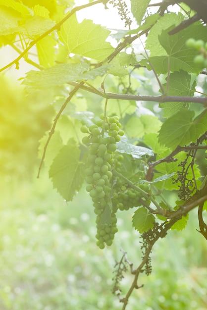 Weiße weinrebe am zweig mit tautropfen nach dem regen am baum und blätter im weinberg, Premium Fotos
