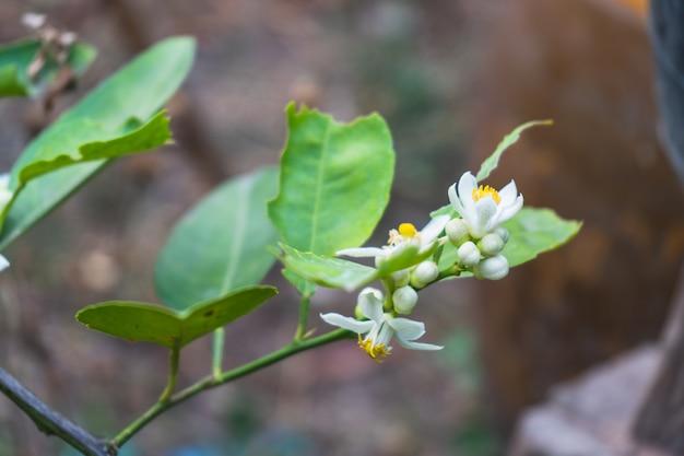 Weiße wohlriechende zitrone blüht auf einem blühenden baumast einer immergrünen anlage im frühjahr. Premium Fotos