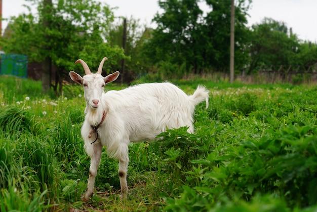 Weiße ziege im garten grünes gras essend. rinder auf der grünen weide. das tier an der leine ist begrenzt. milchziege, die auf der wiese weiden lässt. landwirtschaft Premium Fotos