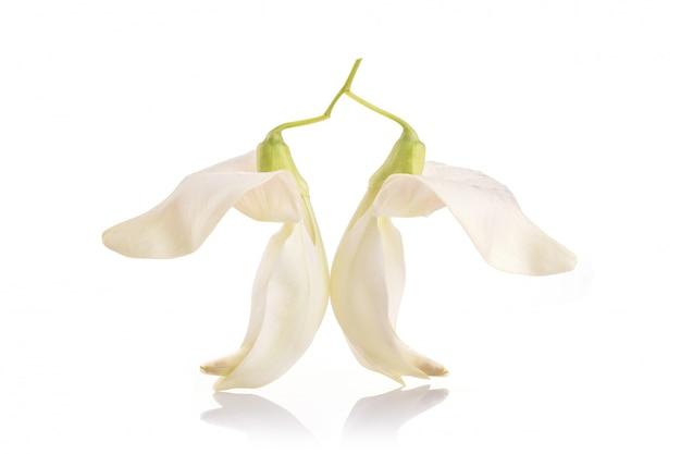 Weißer agastablumen-, sesban- oder gemüsekolibri lokalisiert auf weiß Premium Fotos