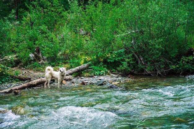 Weißer hund schwimmt gebirgsfluss auf hintergrund der reichen vegetation. der beste freund des menschen im wasser. schneller strom im gebirgsbach. nasses tier auf natur. erstaunliche landschaft mit haustier. Premium Fotos