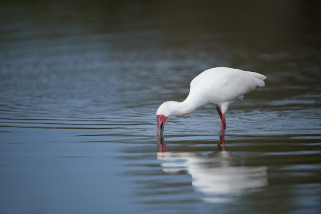 Weißer ibis mit einer roten rechnung trinkwasser von einem see Kostenlose Fotos
