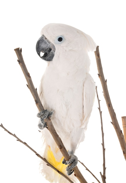 Weißer kakadu im studio Premium Fotos