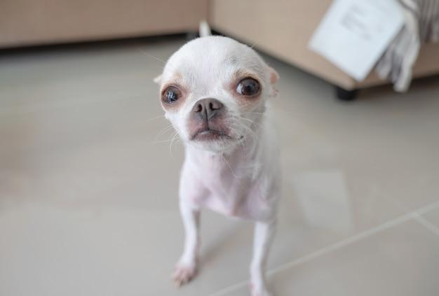 Weißer kleiner chihuahuawelpe, der steht und schaut Premium Fotos