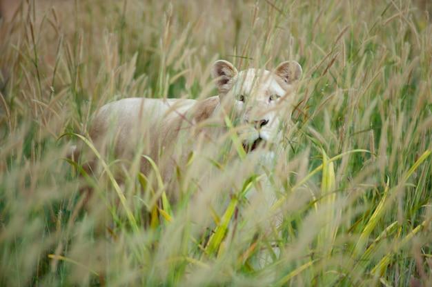 Weißer löwe (panthera löwe) stehend in der rasenfläche Premium Fotos